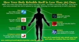 body_regeneration-cycles
